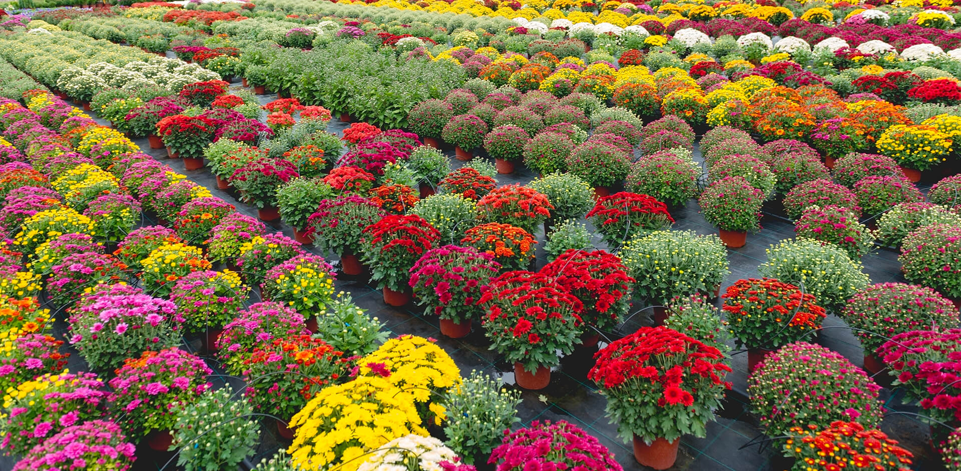 Rows of Flowers at Nursery